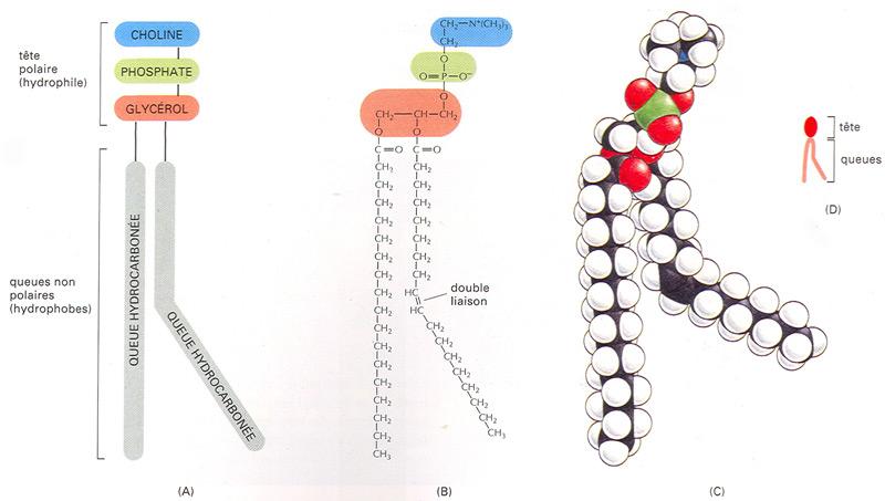 A. Les lipides membranaires sont les phospholipides, le
