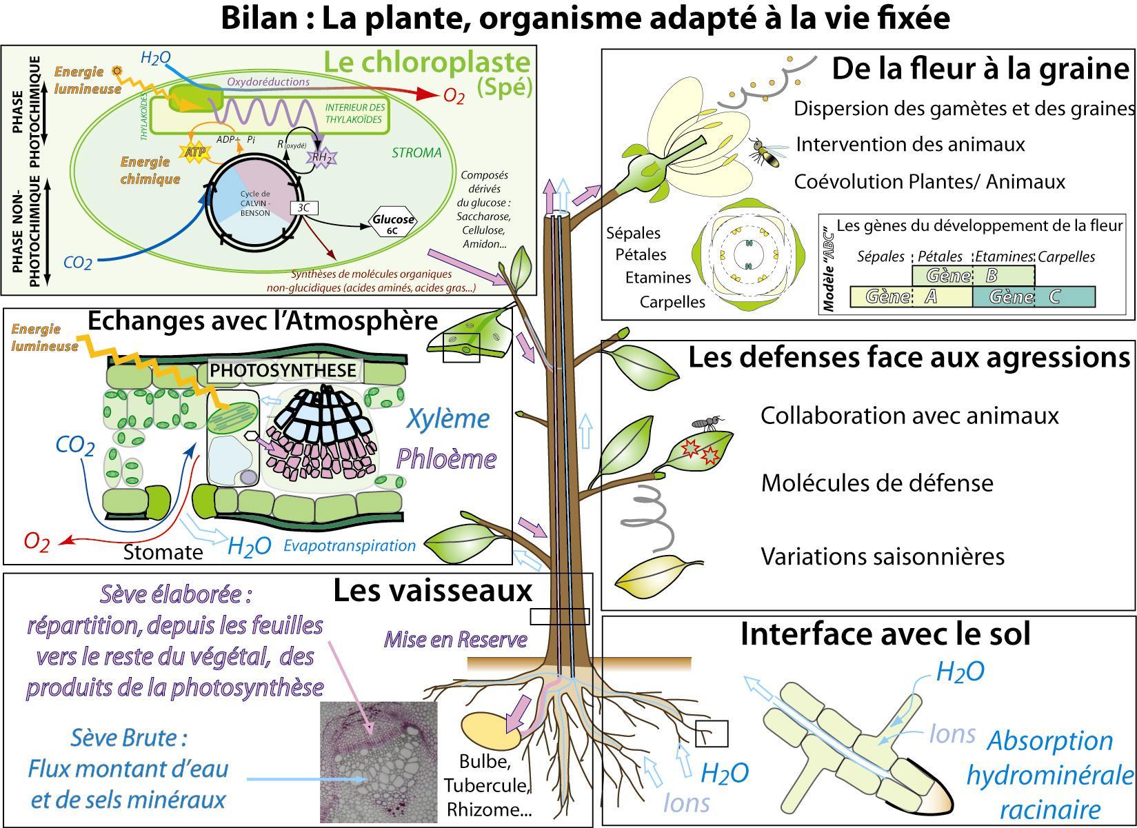 Cours 1a 5 les plantes terrestres for Plante 21 svt