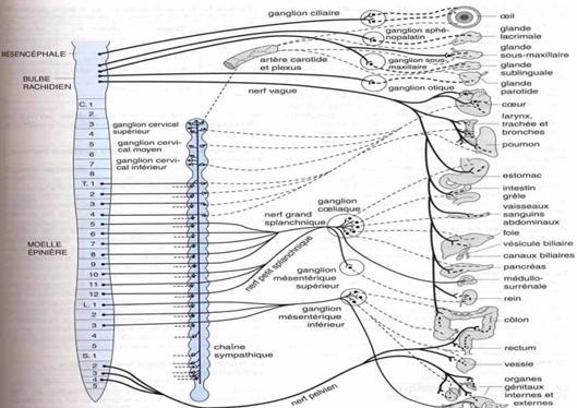 II. Organisation du système nerveux autonome